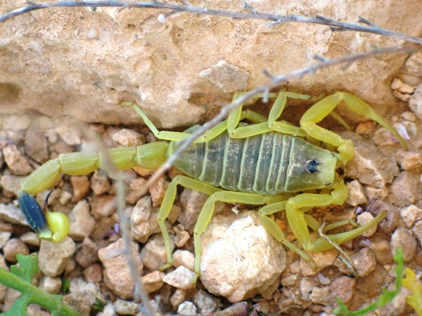 An Israeli Death Stalker Scorpion