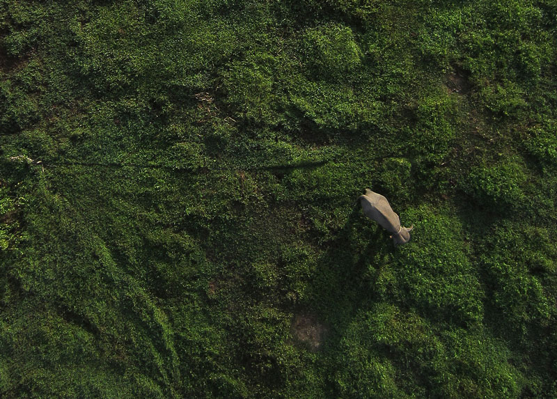 A drone image of an elephant in Sumatra. PC: ConservationDrones.org