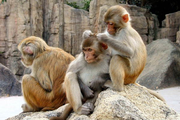 Rhesus Macaques.